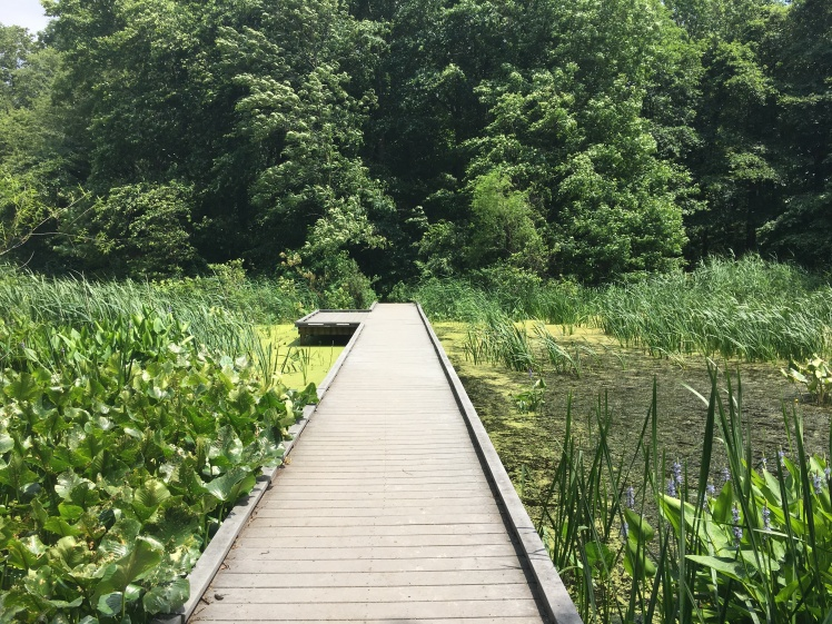 Thin boardwalk going through center of marsh in photo - surrounded by green