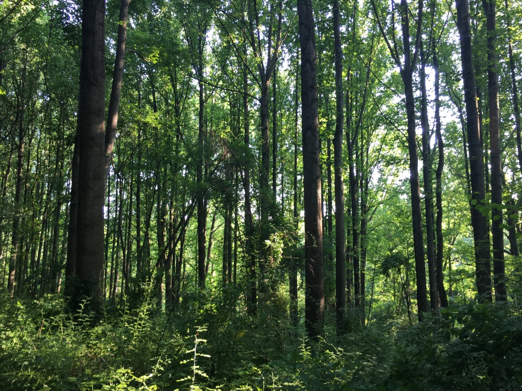 A photo featuring lots of tall trees and lots of green.